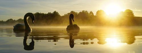 daisynook countrypark failsworth manchester cygnet muteswan cygnusolor waterfowl sunrise lake water reflection crimelake juvenile oldham trees bushes uk