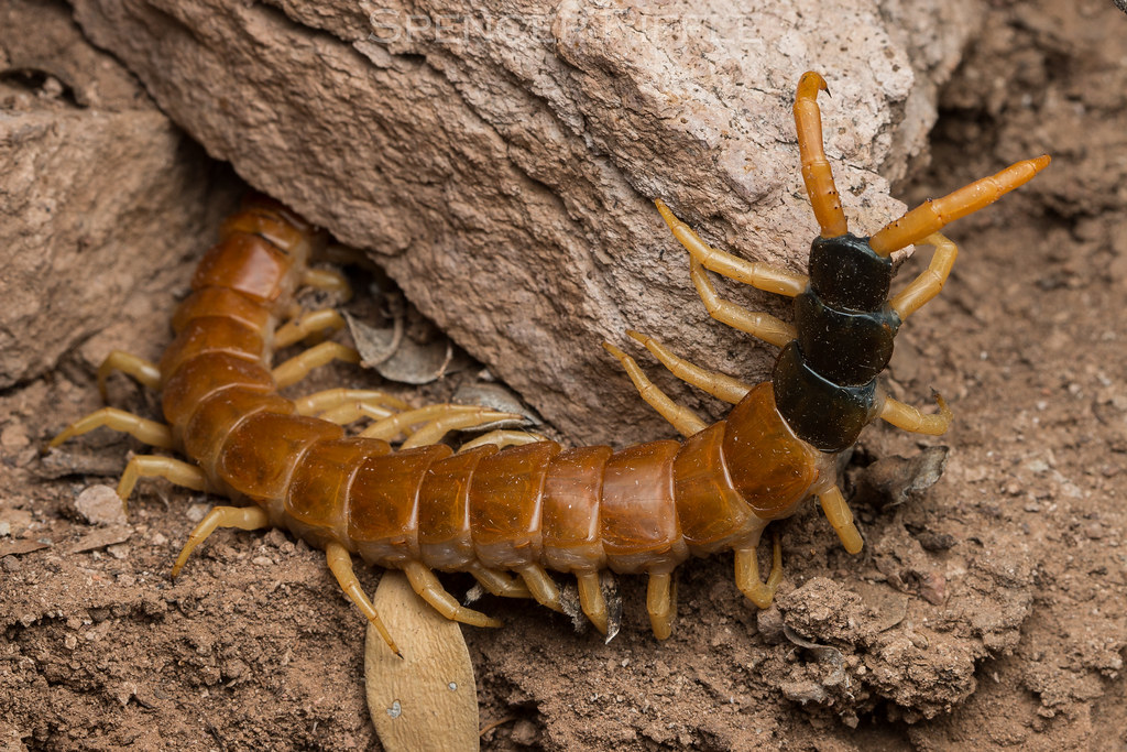 Giant Desert Centipede Scolopendra Heros Maricopa County Flickr