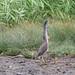 ササゴイ(Striated heron)