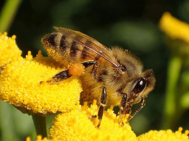 Autumn Gathering. Honeybee, Apis mellifera, on Tanacetum vulgare, Tansy, Océ-weerd, Meuse Corridor, Venlo, The Netherlands