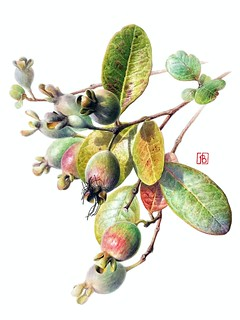 Feijoa sellowiana - Pascal Brault