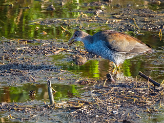 Sora and snail snack | by Ed Rosack
