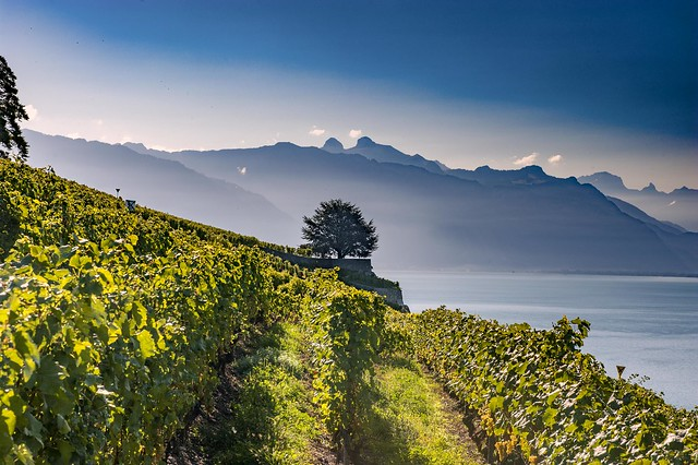 A lonely tree in Lavaux. Canton of Vaud, Switzerland.izakigur 07.09.15, 09:37:03 no. 9958.