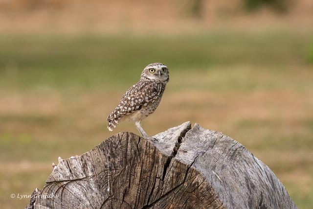 Burrowing Owl D85_4184.jpg