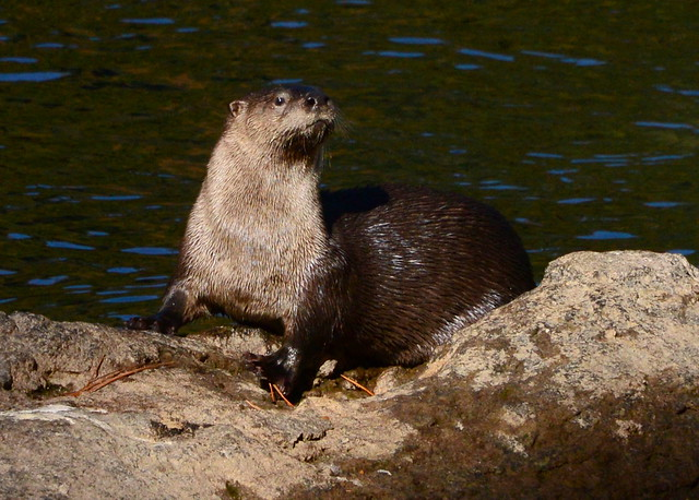 River Otter (Lontra canadensis ), Near Tahoe, California