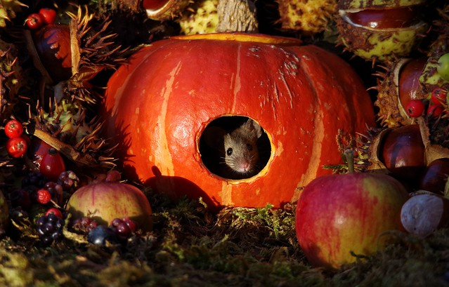 Mouse inside a Autumn pumpkin  (2)