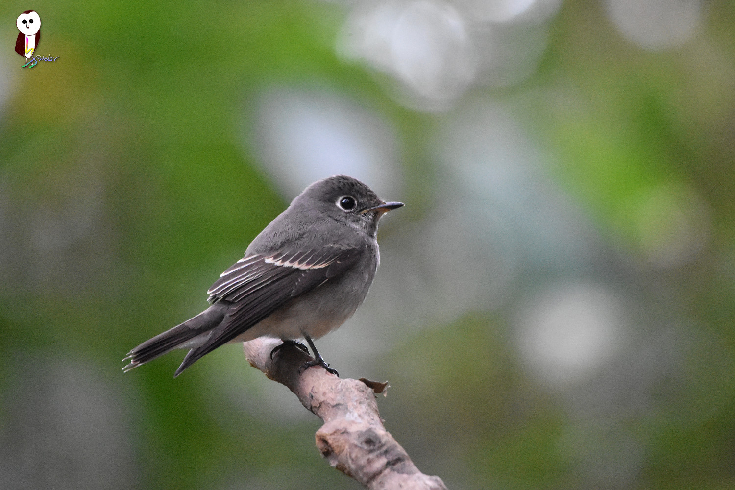 Dark-sided_Flycatcher_5999