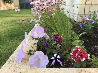 Many Returning Petunias   by Miss Shari