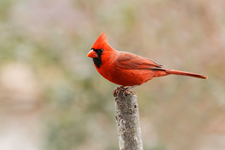 Northern Cardinal | by ShenandoahNPS