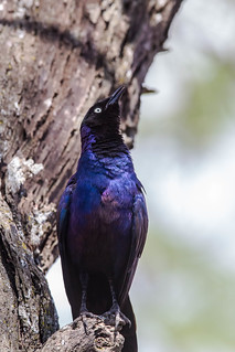 Serengeti_17sep18_01_ruppell's starling | by Valentin Groza