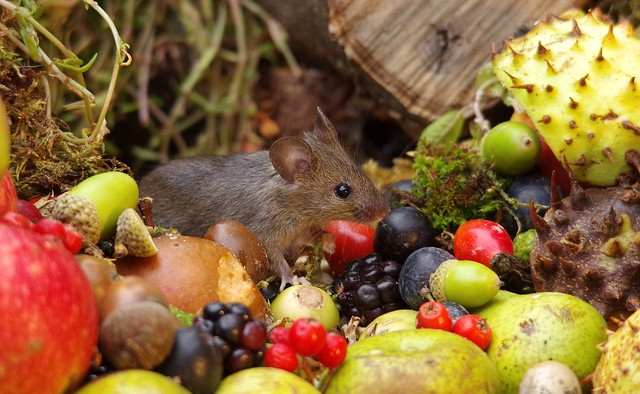wild house mouse with wild picked fruits nuts and berries Autumn display (9)