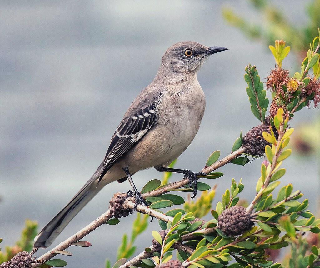 Image result for mockingbirds