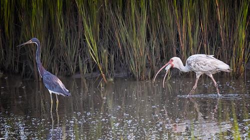 action bird hiltonhead ibis pinckney southcarolina summer sunrise tricoloredheron water wildlife hiltonheadisland unitedstates us