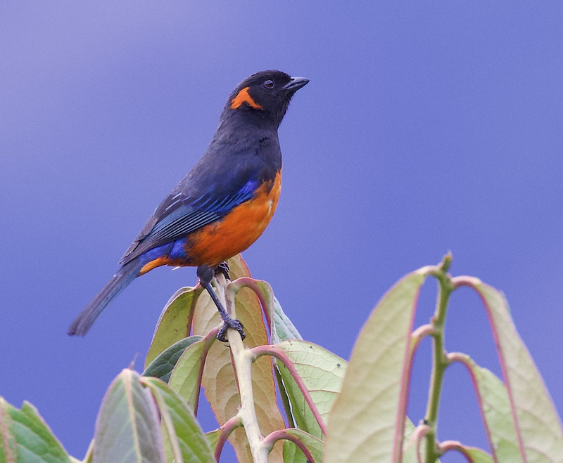 Scarlet-bellied Mountain-Tanager, Anisognathus igniventris 199A5681