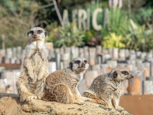 Meerkat Manor.   by jakeblu