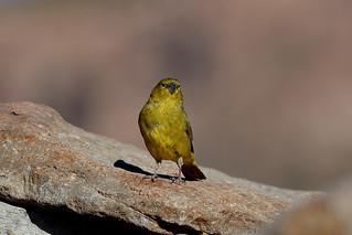 Жёлтый пунский вьюрок, Sicalis lutea, Puna Yellow-Finch | by Oleg Nomad