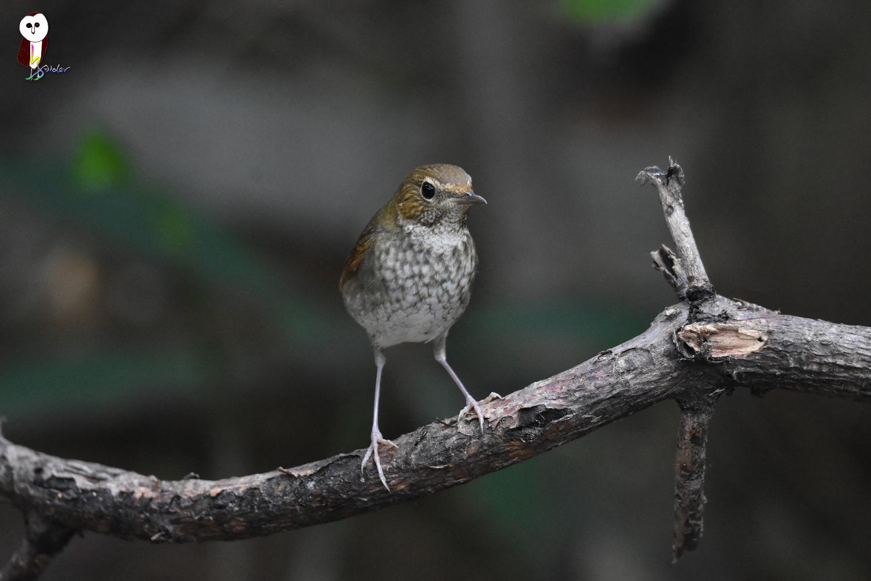 Rufous-tailed_Robin_4885