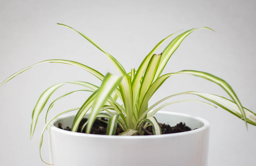 11 Best Bedroom Plants That Will Help You Sleep - Spider Plant