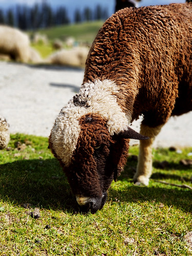 kashmir india sheep wool woods art evening fur brownsheep grass street littledoglaughedstories