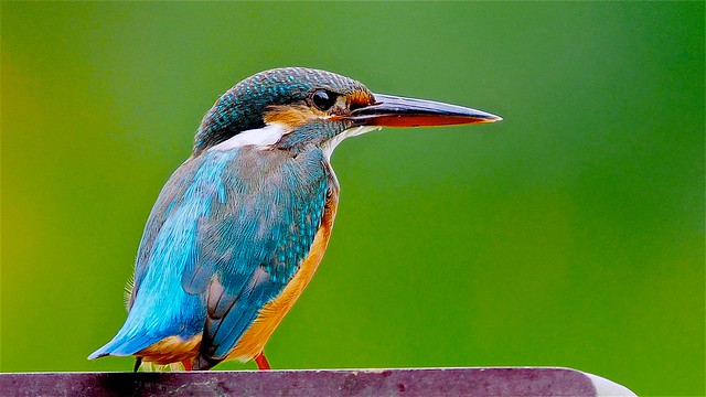 Common Kingfisher: Winter Visitor