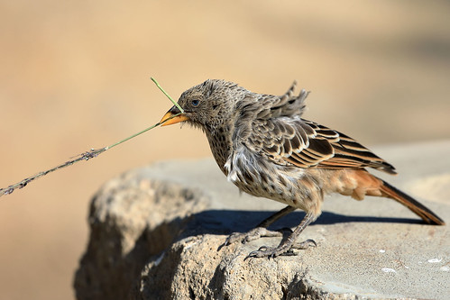 Rufous-tailed weaver | by dmmaus