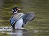 Canard branchu ♀ / Wood Duck by anjoudiscus
