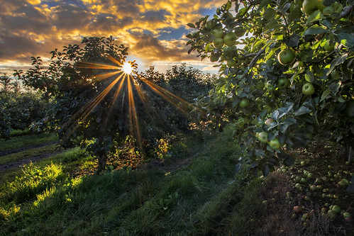 orchard apple bramley richhill armagh countyarmagh ulster northernireland loughgall fruit trees windfalls sunrise morning harvest picking season applepulling autumn topfruit horticulture grow grower sunburst light daybreak early alanhopps canon 80d sigma 1770mm