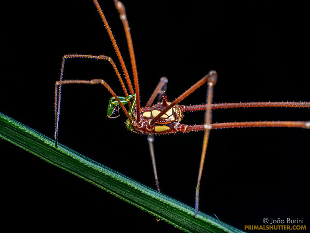 Caelopyginae, Thereza speciosa