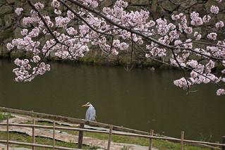 Himeji Castle Hanami - Himeji, Japan | by inefekt69