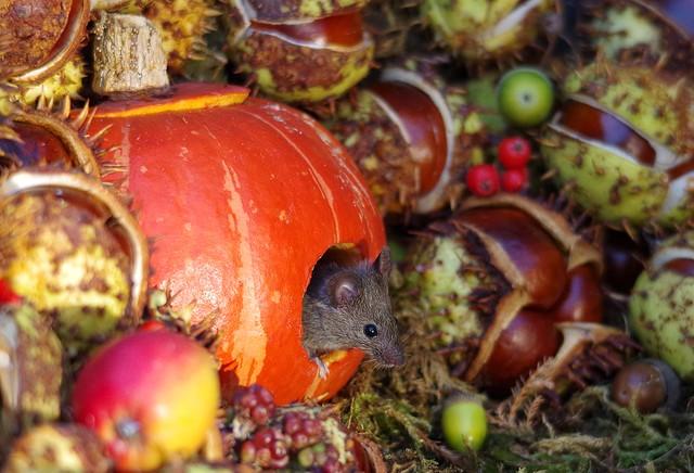Mouse inside a Autumn pumpkin  (14)