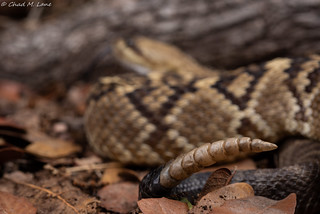 Black-Tailed Rattlesnake (Crotalus molossus) | by Chad M. Lane