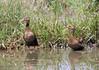 Iguaza Común, Black-bellied Whistling Duck  (Dendrocygna autumnalis) by Francisco Piedrahita