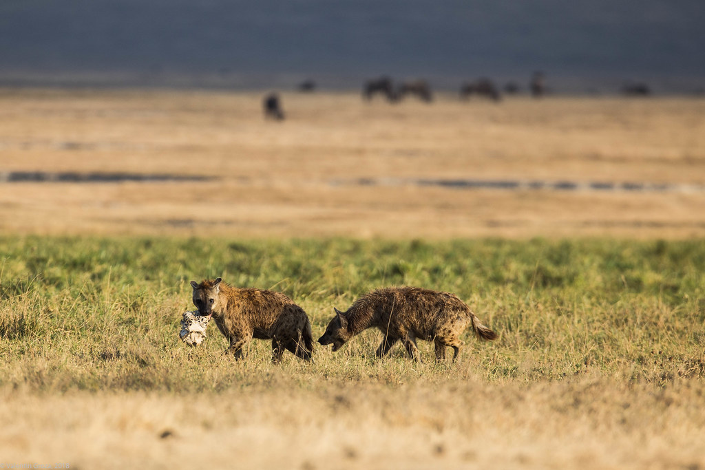 Ngorongoro_18sep18_06 hiene