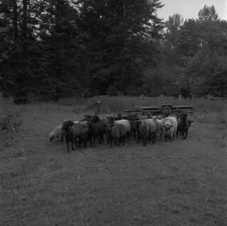 Herd of sheep used for Cowichan sweaters, British Columbia / Troupeau de moutons dont la laine est utilisée pour faire des chandails Cowichan (Colombie-Britannique)