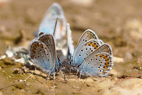 silver-studded Blue | by murtica27