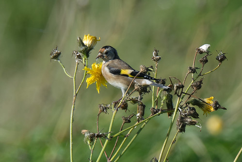 Young Goldfinch | by FergalSandra