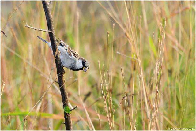 Passer domesticus parkini (Male)