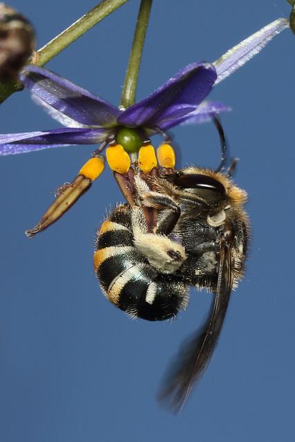 Lipotriches bee