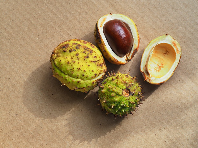 Fall came and chestnuts feld from tree someone with cover