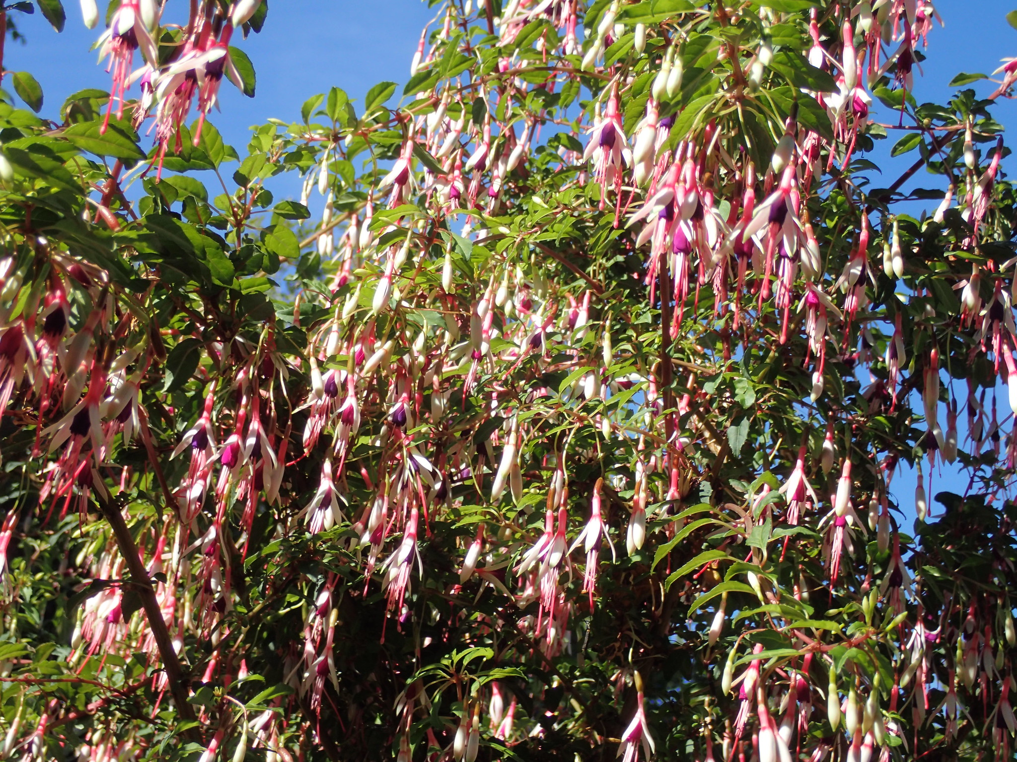 Fuchsia magellanica arauco