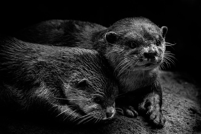 Bonded Otters