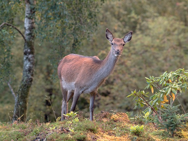Red Deer  'Cervus elaphus' Ardnamurchan Peninsula