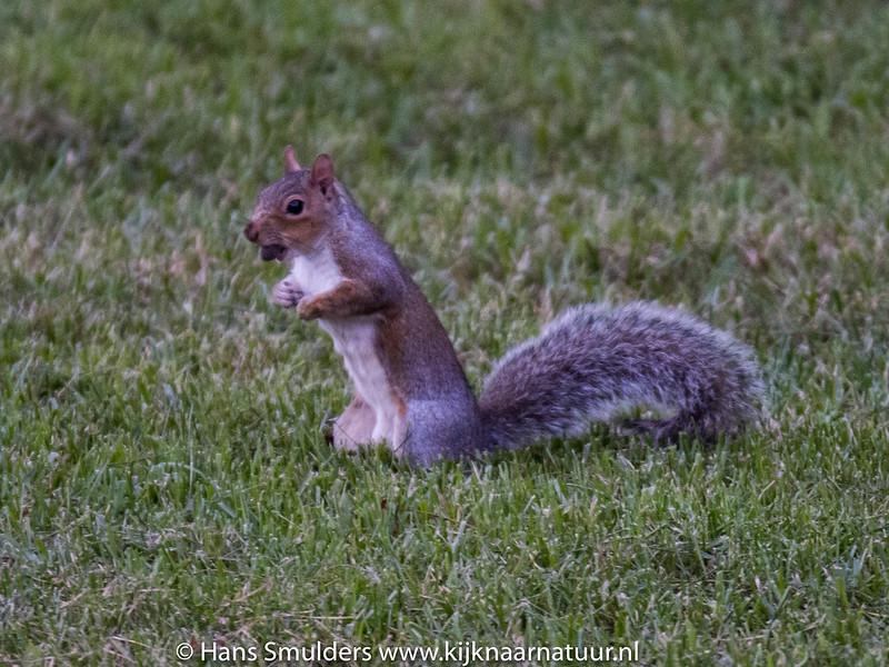 Eastern Gray Squirrel (Sciurus carolinensis)-818_6619