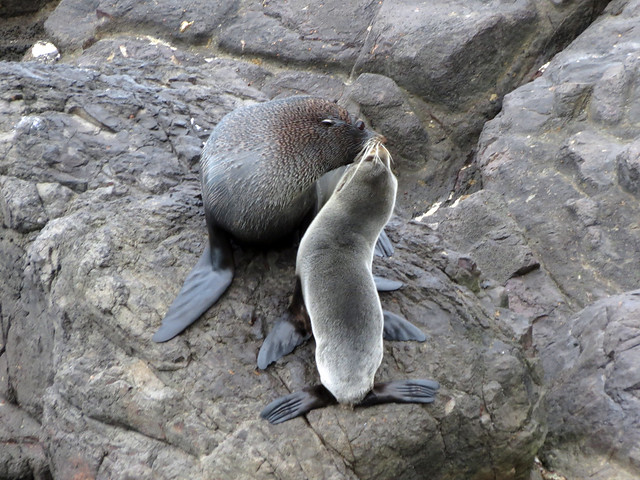 Fur Seal Pup Greeting Mom