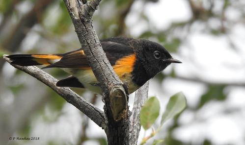 bird warbler americanredstart mallardpoint