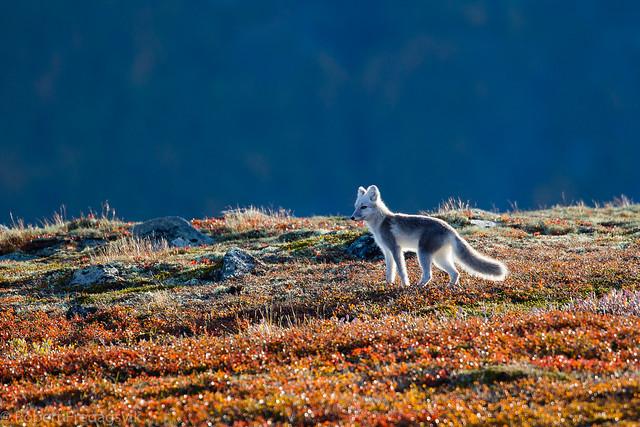 Fjellrev - Arctic fox - Explored