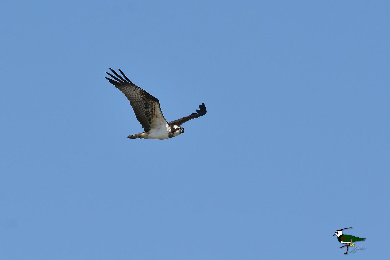 Osprey_0625