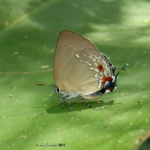 probably Strephonota tyriam - definitely female