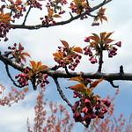NYC - Brooklyn Botanic Garden:  Sakura Matsuri - Cherry Blossoms