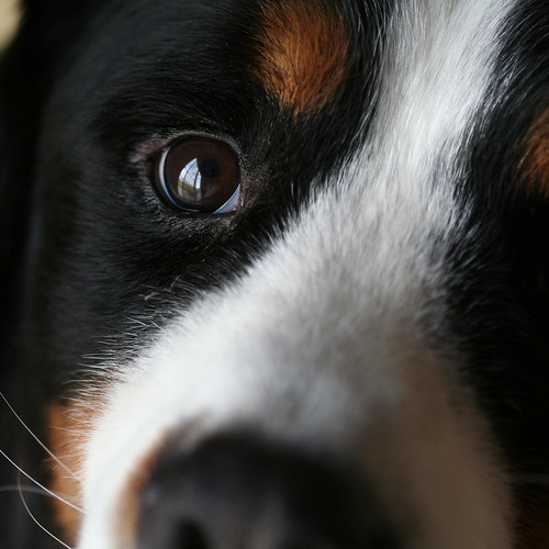 Berner Close Up | by kellygifford